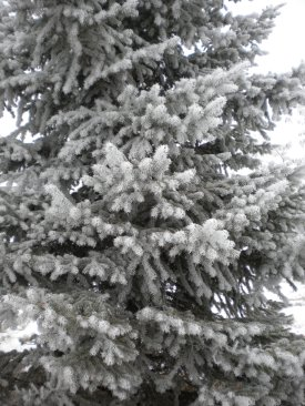 Our beautiful pine tree, covered with a blanket of frost.