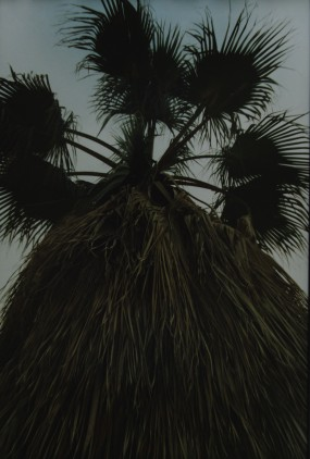 An enormous palm tree.