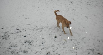 Ross the Dog frolicking in the snow.  Rapid City, South Dakota.