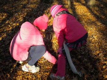 Digging for acorns under the dry leaves.