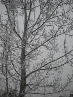 A Black Hills Aspen covered with a light blanket of frost.