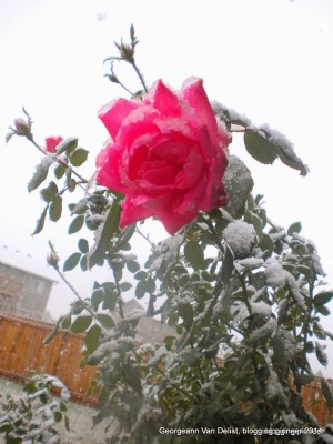 The rosebush enduring the first winter storm of 2013.