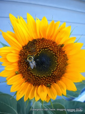A bee visiting a giant sunflower in my Kansas garden.