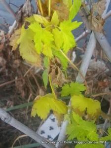 Our hops going dormant last autumn.
