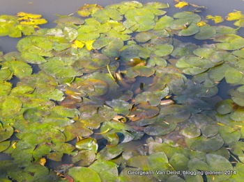 Lily pads on an autumn pond.