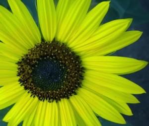 Sunflower2-001