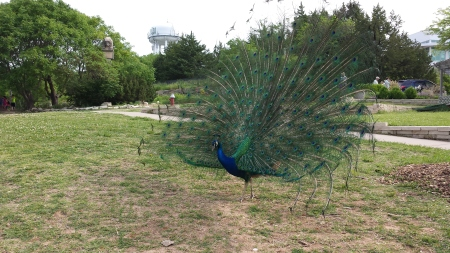 A peacock at the zoo.  Picture taken by my student.