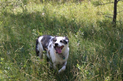 Raz, for whom The Razzamatazz claim is named, romping through the grass.