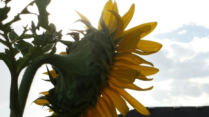 A raggedy sunflower in my backyard, turned toward the morning sunlight.