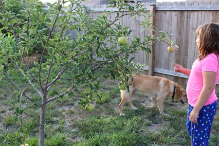 Our first apple tree, which gave us five incredible apples this summer!