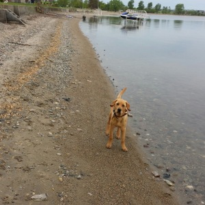 Our new puppy Teddy enjoying the beach on Lake Kampeska this summer.